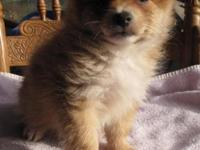 This little guy is a PomChi! He's 3/4 Pom and 1/4