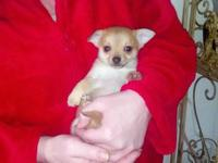 I have a sable colored Pomchi male puppy ready to go to