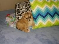 Muffin is a CKC registered female Pomchi puppy. She is