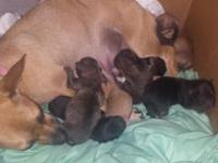 Puppies born august 23rd! Mama is a 7lb short hair