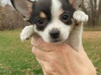 * Adorable white and black PomChi puppy for adoption *