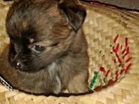 Darling tiny PomChi female. Has had first vaccinations