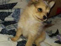 1/2 Pomeranian + 1/2 Chihuahua, Red-Merle & Sable,