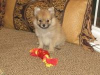 I have one adorable baby boy Pomchi puppy for sale. The