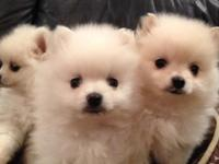 Beautiful, super affectionate, tail wagging Pom Chi's.