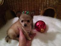 Pomchi tiny female 9 weeks old weights 20 ounces