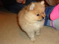 Pomeranian female born Nov 22, 2014 she is small