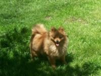 Male Pom is AKC. reg. and is a stunning orange color.