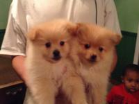 I have a male and a female Pomeranian puppy. They have