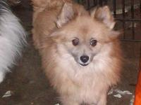 Pomeranian adult female for adoption. She is approx.
