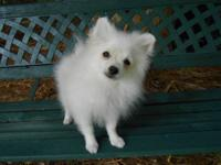 Nat is a little White AKC/CKC registered pom pup. Born