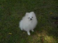 Zander is a beautiful coated White AKC,CKC pom pup.