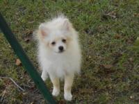 Sealy is a creamy white AKC/CKC registered Pom pup.