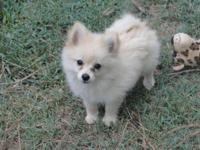 POMERANIAN PUP AKC FEMALE, GREAT PERSONALITY . CREAM ,