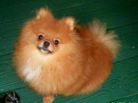 This male pom is a great pet. we are a small show home