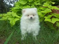 This male Pomeranian was born on 5/17/12. He was one of