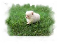 I have an EXTREMELY sweet and loving male pomeranian. I