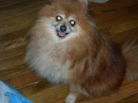 I have a beautiful tiny male pomeranian looking for his