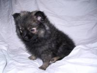 I have this cute tiny Pom female that is ready to go to