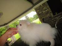 3 month old male Pomeranians for sale white cream,