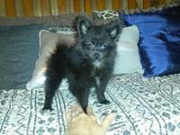 Sweet tiny pomeranian female. 11 wks old and weighs