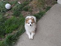 VERY SWEET 3 YR. OLD PURE BREED PARTI POM. WE ARE
