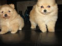 THIS 2 BEATIFUL PUPPYS ARE VERY PLAYFUL , WITH A