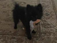 Hello, I have a wonderful male black little Pom, he was