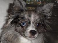 $900.00 Gorgeous blue merle 1 1/2 years old 1 blue eye