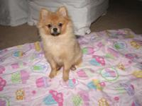 Adorable 5 month old male CKC pure breed Pomeranian