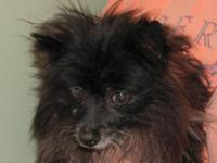 Pomeranian - Atticus - Small - Senior - Male - Dog Meet
