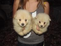 So cute and Fluffy. Little prancing Pomeranians. In the