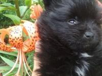I& wave very sweet Pomeranin babies. Male & female, ckc