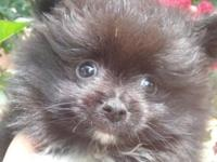 I have a very sweet pomeranian baby boy. CKC