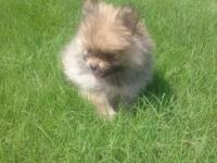 Chanel is a stunning red sable purebred Pomeranian. She
