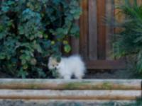 POMERANIAN Tiny Puppy, White, shots. Home: (951)