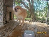 Pomeranian - Bandit - Medium - Adult - Male - Dog