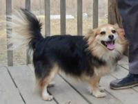 Pomeranian - Bella - Small - Adult - Female - Dog