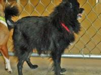 Pomeranian - Bentley - Small - Adult - Male - Dog