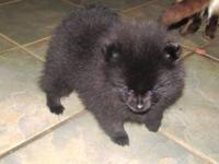 Black Pomeranian /female/ , Pure breed . sire and dam