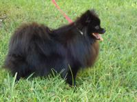 For sale very fluffy solid black Pomeranian female with