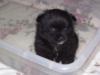 Pomeranian black male puppy, born 4-4-15, CKC< UTD on