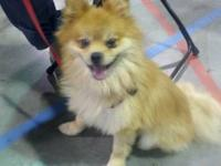 Pomeranian - Cassidy - Small - Adult - Male - Dog