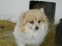 Pomeranian - Cassie - Small - Adult - Female - Dog