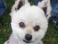Pomeranian - Celeste - Small - Adult - Female - Dog If