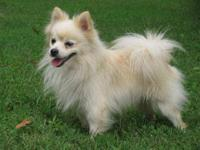 Pomeranian - Chance - Lost/reward - Small - Senior -
