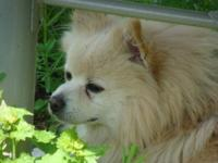 Pomeranian - Chester - Small - Adult - Male - Dog