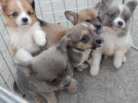 Pomeranian Chihuahua mix young puppies born on July