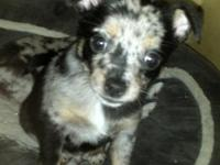 Pomchi's (pomeranian/chihuahua) Ready Sept. 16th- 8