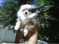 Pomeranianchihuahua Puppy 18 Weeks Oldshotsdewormercrate